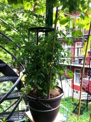 Tomates Anna.3
